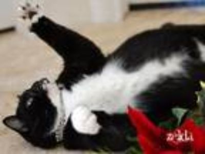 Adopt Zelda a Black & White or Tuxedo Domestic Shorthair / Mixed (short coat)