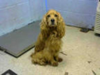Adopt SAMWISE a Tan/Yellow/Fawn Cocker Spaniel / Mixed dog in Atlanta