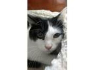 Adopt Peeps a Domestic Shorthair cat in Hamburg, NY (25522534)