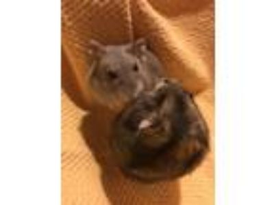 Adopt Shelley, Mary a Hamster