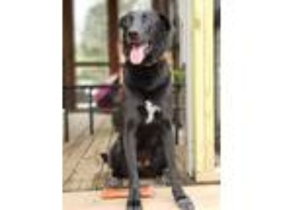 Adopt Brena a Black - with White Wirehaired Fox Terrier / Anatolian Shepherd /