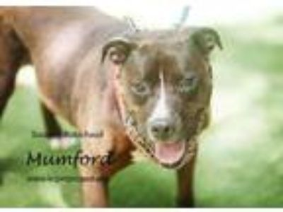 Adopt Mumford a Black American Pit Bull Terrier / Mixed dog in Kansas City