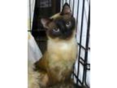 Adopt Hima a Tan or Fawn Domestic Shorthair / Domestic Shorthair / Mixed cat in