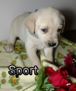Labrador Retriever PUPPY FOR SALE ADN-109502 - Sport  a part Englis Yellow Labrador Retriever