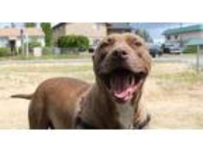 Adopt Piggie Smalls a Brown/Chocolate American Pit Bull Terrier / Mixed dog in