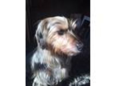 Adopt Autumn a Yorkshire Terrier, Mixed Breed