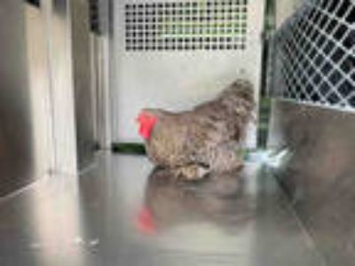 Adopt a Gray Chicken / Mixed bird in Garland, TX (25351715)