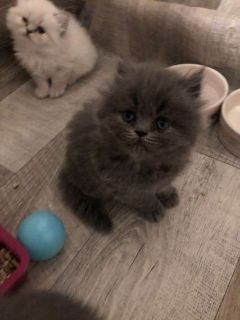 Beautifu 11 weeks old l Persian Kittens For Sale