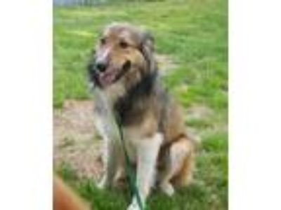 Adopt Lonnie a Tan/Yellow/Fawn - with White Collie / Mixed dog in Powell