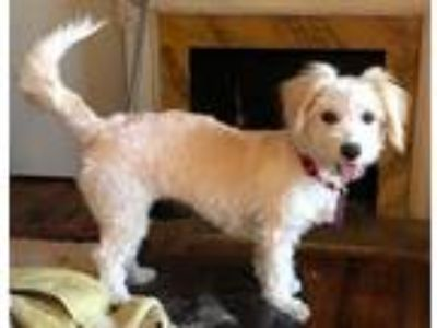 Adopt Mayre a Poodle, Terrier