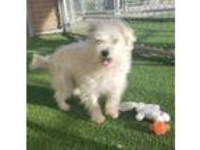 Adopt Nate a White Westie, West Highland White Terrier / Lhasa Apso / Mixed dog