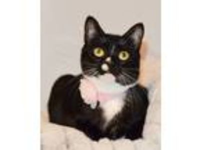 Adopt Sneezy a Black & White or Tuxedo Domestic Shorthair (short coat) cat in