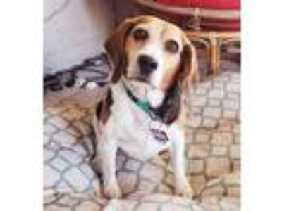 Adopt Foxy a Tricolor (Tan/Brown & Black & White) Beagle / Mixed dog in Las