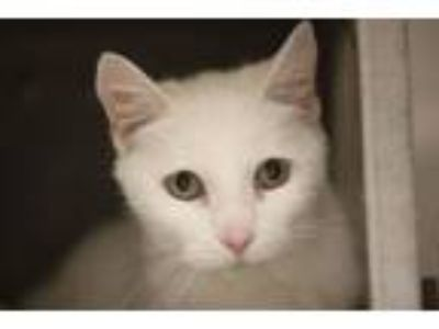 Adopt Snowball a Domestic Short Hair