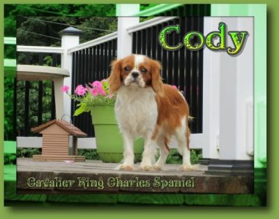 Cody Male Cavalier King Charles Spaniel