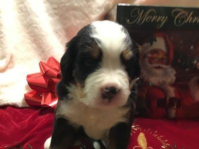 Bernese Mountain Dog PUPPY FOR SALE ADN-103407 - Bernese Mountain Dog