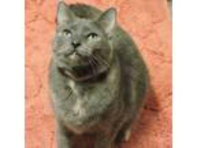 Adopt NUGGET a Tortoiseshell Domestic Shorthair (short coat) cat in Macon