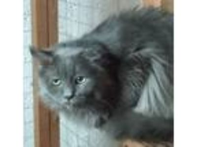 Adopt Ferris a Domestic Long Hair