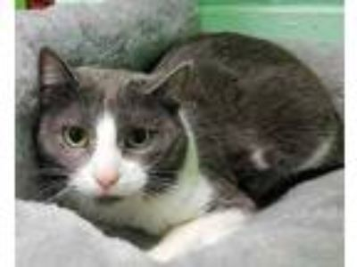 Adopt Bean a Gray or Blue Domestic Shorthair / Domestic Shorthair / Mixed cat in