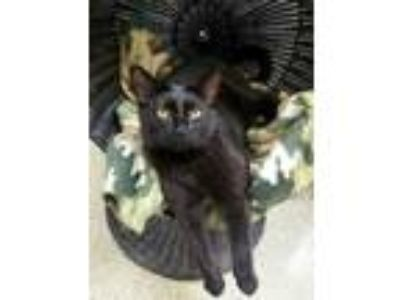 Adopt Claudia a All Black Domestic Shorthair / Domestic Shorthair / Mixed cat in