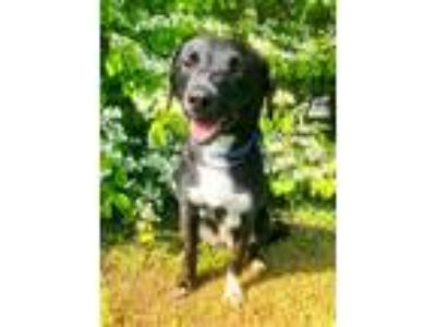 Adopt Raven a Black - with White Retriever (Unknown Type) / Mixed dog in