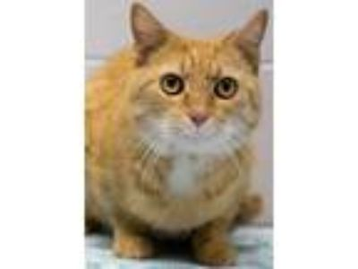 Adopt Hector a Tabby, Domestic Short Hair