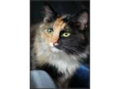Adopt Cute Calico Cats a Domestic Medium Hair