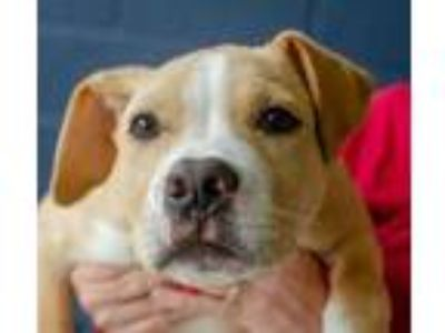 Adopt Josh a Brown/Chocolate American Pit Bull Terrier / Mixed dog in Greenwood