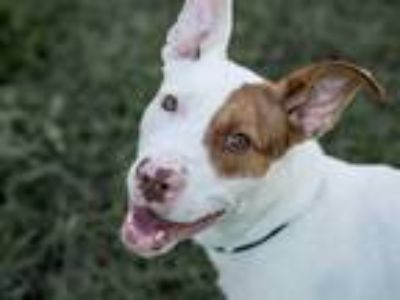 Adopt SKITTLES a White - with Brown or Chocolate Labrador Retriever / American