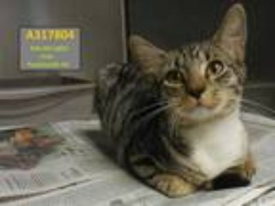 Adopt BYRON a Gray, Blue or Silver Tabby Domestic Shorthair / Mixed (short coat)
