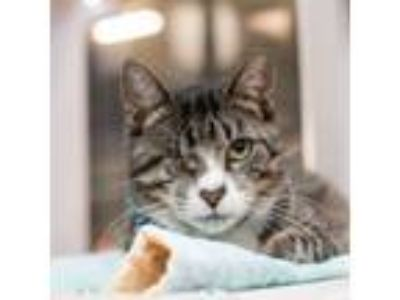 Adopt Figgy Sugartoes a Domestic Short Hair