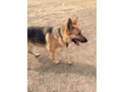 Adopt Sofia a German Shepherd Dog