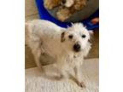 Adopt Abby a Jack Russell Terrier