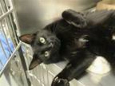 Adopt Koko a Domestic Shorthair / Mixed (short coat) cat in New York