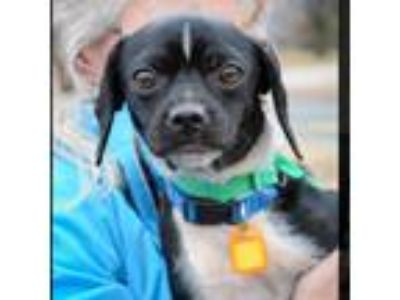 Adopt Judy a Black - with White Pug / Dachshund / Mixed dog in Minneapolis