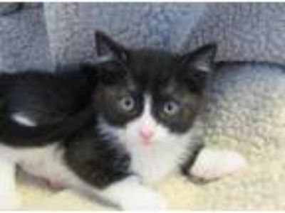 Adopt Peanut a Domestic Short Hair