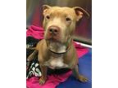 Adopt Blue a American Pit Bull Terrier / Mixed dog in Pittsburgh, PA (25536165)