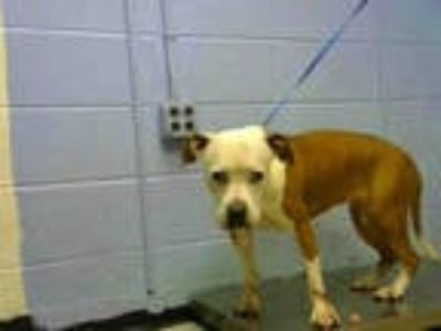 Adopt BRONWYN a White - with Brown or Chocolate American Pit Bull Terrier /