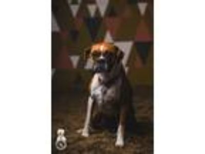 Adopt Bella a Tan/Yellow/Fawn - with White Boxer / Mixed dog in Portland