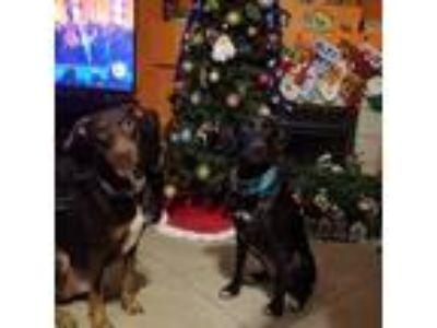 Adopt Alice a Black - with White Labrador Retriever / Doberman Pinscher / Mixed