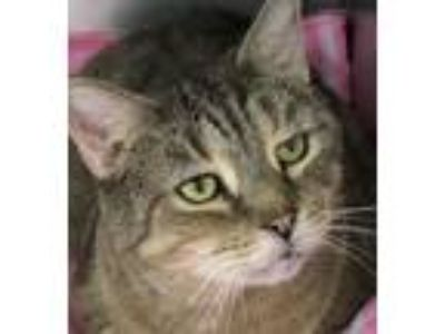 Adopt Rega a Domestic Short Hair, Tabby