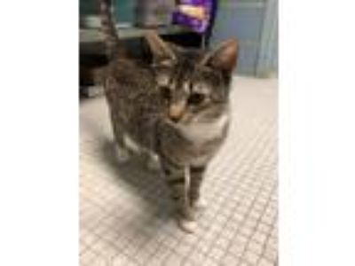 Adopt Louisiana a Domestic Short Hair