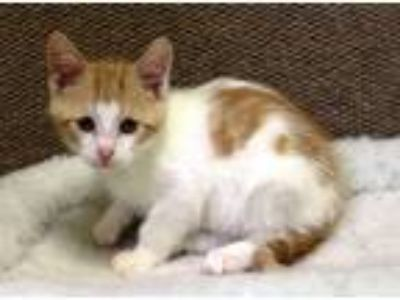 Adopt Derby a Orange or Red (Mostly) Domestic Shorthair (short coat) cat in
