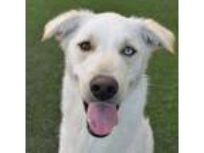 Adopt Paulie a Golden Retriever, Husky