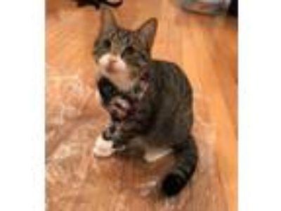 Adopt Calvin a Brown Tabby Domestic Shorthair (short coat) cat in Carlisle