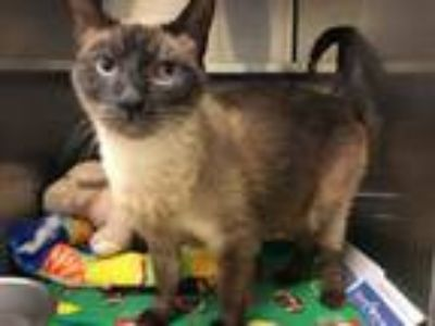 Adopt Yoda a Siamese, Domestic Short Hair