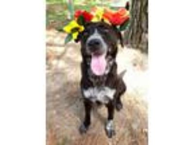 Adopt Khaleesi a Labrador Retriever, Australian Cattle Dog / Blue Heeler