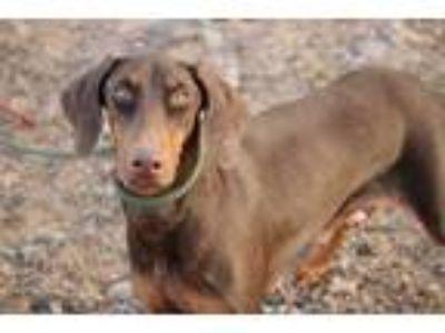 Adopt Belladonna a Brown/Chocolate - with Tan Doberman Pinscher / Mixed dog in