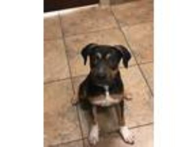 Adopt Miles a Tricolor (Tan/Brown & Black & White) Hound (Unknown Type) / Mixed