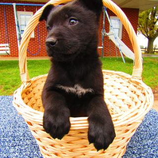 German Shepherd Dog PUPPY FOR SALE ADN-102507 - German Shepherd